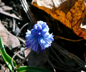 tiny grape hyacinth