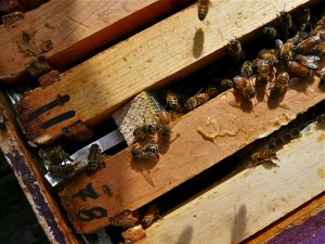 The new queen cage sitting tightly between two of the frames in the hive