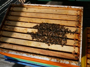 The bees in the bottom box of the blue hive. Just a small cluster