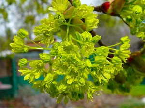 Maple tree blossoms