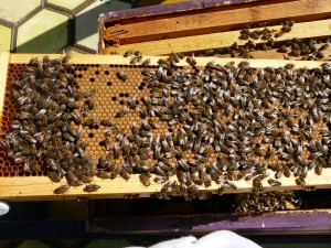 really nice frame of capped brood from orange hive