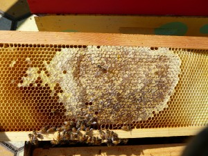 One of the frames with newly capped honey