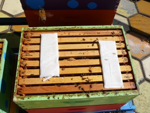 Mite Away strips on top of the blue hive brood boxes