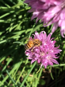 honeybee on chive