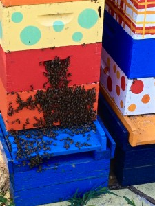 "Bees ""bearding"" on the front of the blue hive. They do this because it's hot, this gets some of the bee bodies outside of the hive to cool off, and they fan air from outside so it will circulate into the hive through the front door. When it's very hot, they can form a ""beard"" over the whole bottom of the hive and down the front stoop."