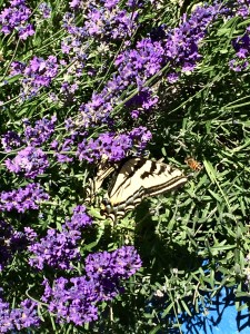 I got a picture of both a big tiger swallowtail butterfly and one of my girls gathering nectar side by side from the lavender