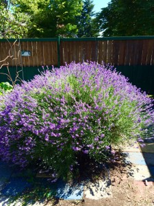 One of the big lavender plants in the garden that the bees love