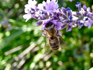 "Girl working the lavender. If you look close, you can see her long reddish ""tongue"" (proboscis) in the flower getting the nectar"