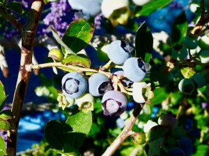 Blueberries starting to ripen