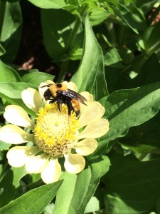 ridiculously huge monster of a bumblebee on a zinnia. This was a big as my thumb.