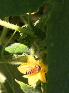 girl working on a cucumber blossom