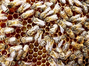 bees on open brood. In the middle left gap, you can see a cell with a fresh egg (looks like a little white piece of rice in the bottom of the cell). Then in the gap in the middle bottom, you can see little C shaped tiny larvae, floating in royal jelly, which are just a few days old