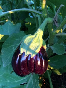gorgeous eggplant, almost too pretty to pick - almost