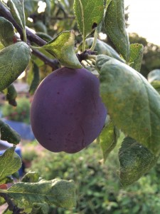 plums getting ready for picking, making chutney, jam, spiced plums, plum syrup...