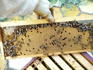 perfect frame of capped brood. It's solid, but there are a few holes where they have selectively pulled out brood they didn't want - could be sick, could have mites.