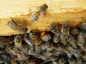 Here's the back end of a girl that just came in to the hive with very full bags of dark orange pollen