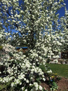 The flowering pear tree right next to the bee deck, in full bloom right now. The girls are all over it