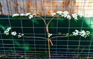 This is my espaliered pear tree that will actually make pears someday, on a fence in the yard and the girls were on it, too