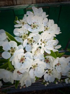 These are the blossoms on the espaliered pear tree