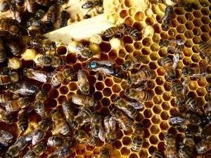 Here's Queen Freyja with her blue dot. You can see the frame she is on is just packed with bee bread (pollen)