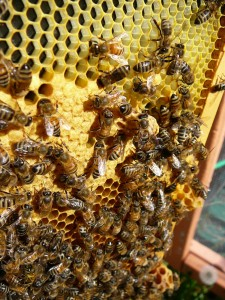 frame with some capped brood and 3 queen cells