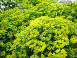 Euphorbia in the front yard