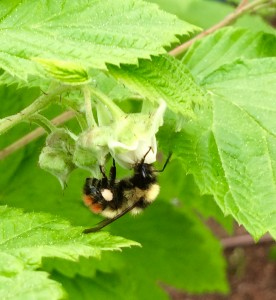 Sweet little wild bumblebee making a raspberry for me in my raspberry patch