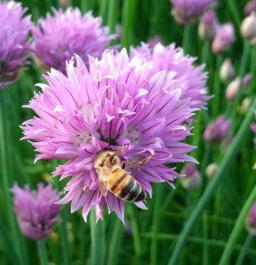 Hundreds of chives are in bloom and the girls are loving them