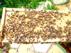 perfectly laid frame, end to end capped, with several holes where the girls pulled out unapproved brood