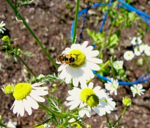 Here is a visiting wild bee on my chamomile