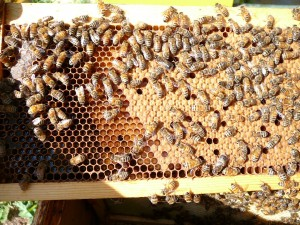 Frame in the orange hive with both capped brood, uncapped brood and nectar off to the left