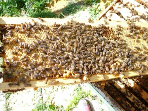 here's a frame in the yellow hive that is wall to wall capped brood, some drone brood and 2 queen cups along the bottom