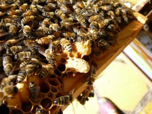 2 of the capped queen cells in the purple hive