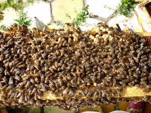 here's a brood frame with the bottom covered in capped drone brood.