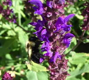 black bumblebee on salvia