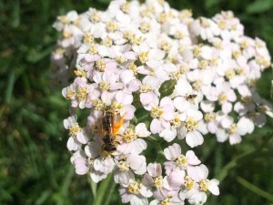 This is some kind of little wild bee on the pink yarrow. She was black and shiny and about a third of the size of a honey bee
