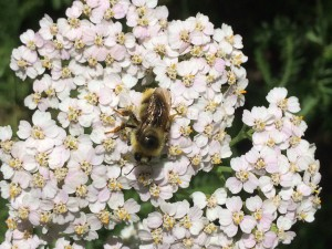 bumblebee on pink yarrow