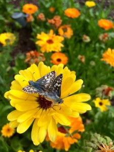 Close your eyes, kids. Here are two pretty little butterflies, back to back, mating on one of my calendula