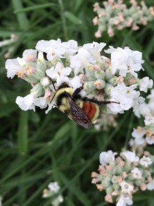 fuzzy orange bottomed bumblebee (my favorite BBs) on the white lavender
