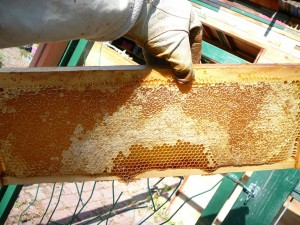 a really decent frame of nearly capped honey with beautiful white wax cappings. Put into storage