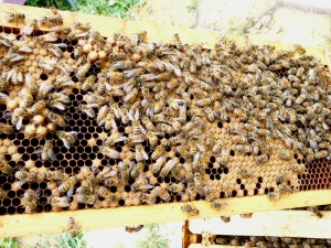 This is one of the frames with capped brood and bees all over it cleaning out the cells from which bees have already hatched