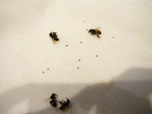 here are 4 alcohol pickled dead bees and 9 little mahogany colored pickled dead mites