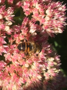 And here us a wild bee on the sedum. Note the strange pattern on her back. I've seen several of these. I can't find any pictures on the internet. Does anyone know what kind of bee this is?