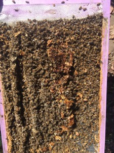 Bottom board full of dead bees