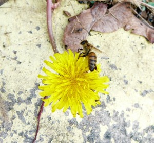 here's a girl on one of the first blooming dandelions growing in a crack right in front of her front door on the bee deck