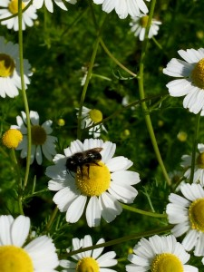 Here is some kind of native bee working on my chamomile. The chamomile flower is about the size of a pea, so this bee is very small