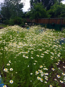 some of the chamomile blooming