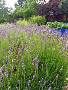 some of the tons of lavender in the gardens