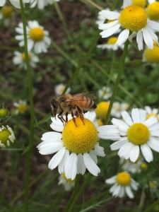 one of the girls working on a chamomile flower.