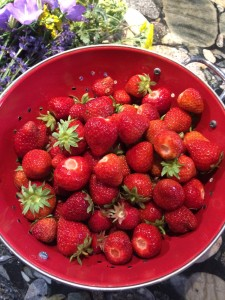 Strawberries picked today